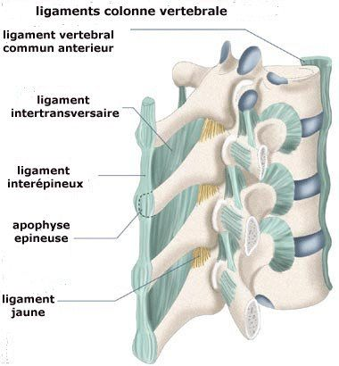 Costotransverse ligament  definition of costotransverse